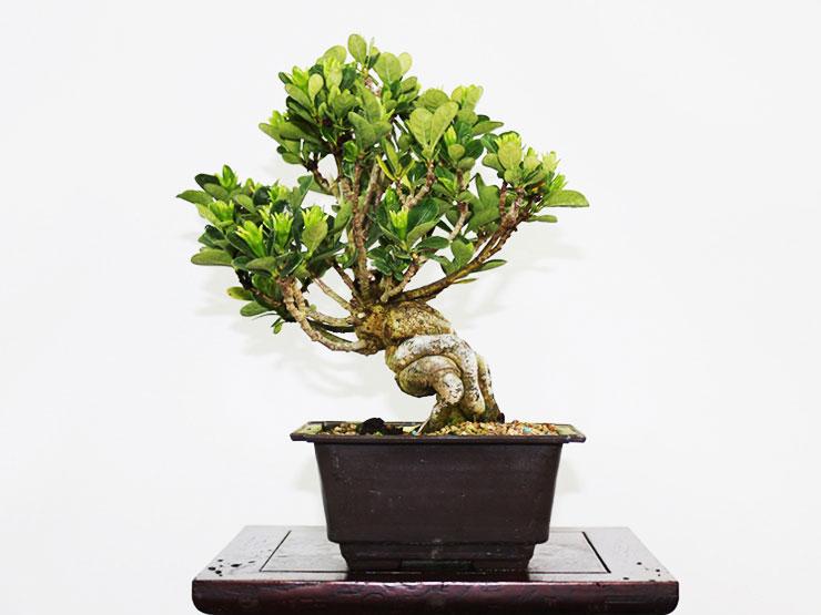 환엽-치자나무.jpg