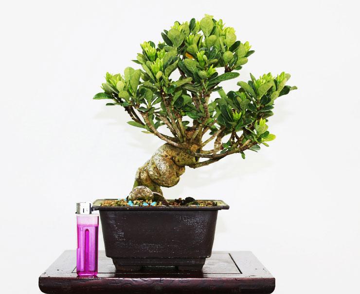 환엽-치자나무-5.jpg