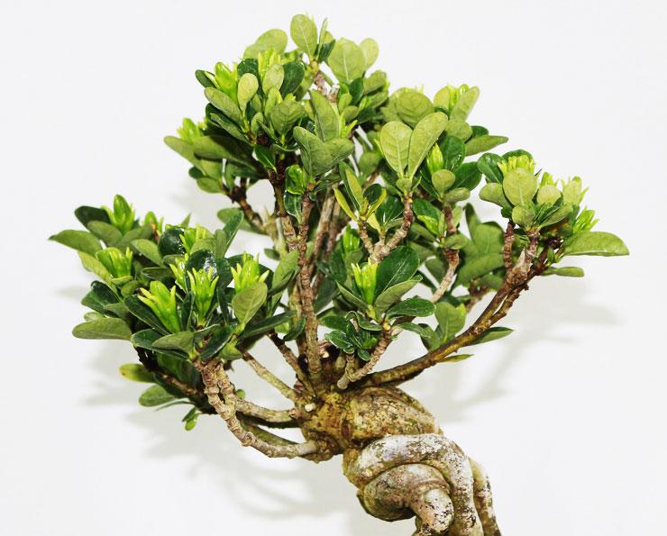 환엽-치자나무-1.jpg