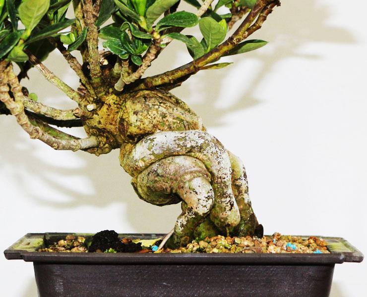 환엽-치자나무-2.jpg