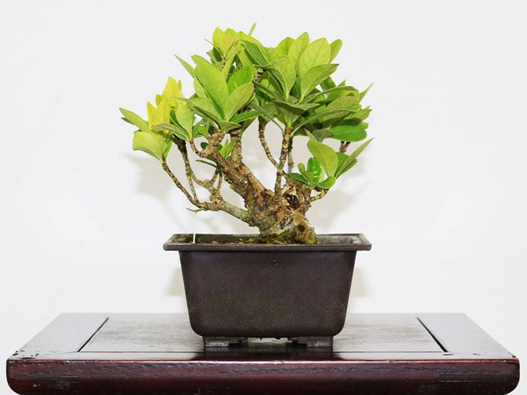 치자나무-두분재.jpg