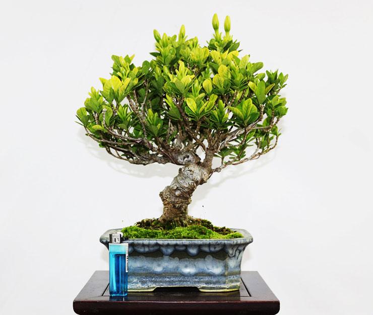 환엽-치자나무-4.jpg