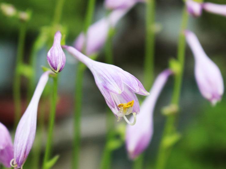 좀비비추-꽃.jpg