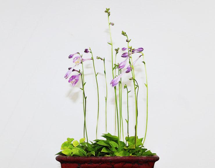 좀비비추-꽃-2.jpg