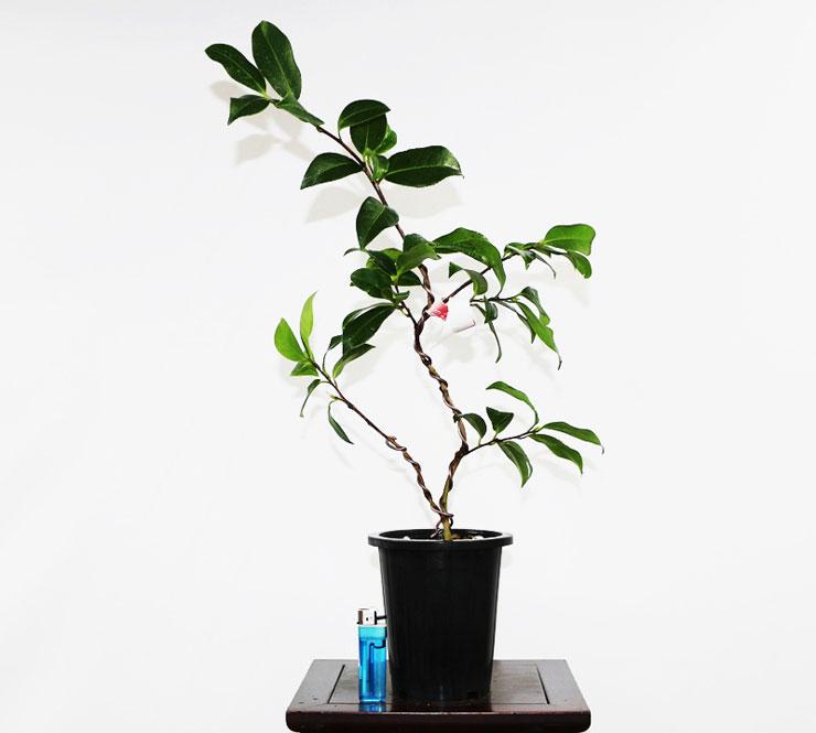 동백나무(게이타임)-2.jpg