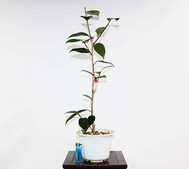 동백나무-로얄벨벳-1.jpg