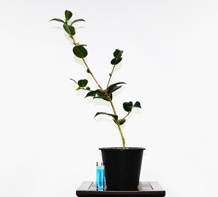 동백나무-추월반입-2.jpg