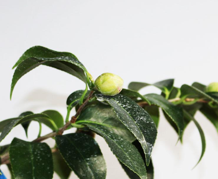 동백나무-도모노우라-2.jpg