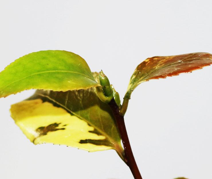 동백나무-설춘-1.jpg