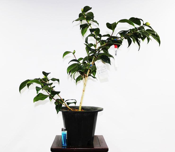 동백나무-도모노우라-3.jpg