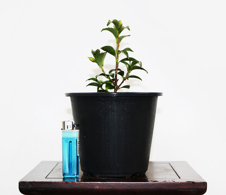 동백나무-은엽춘-2.jpg