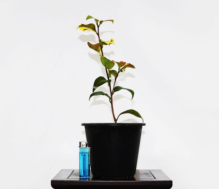동백나무-설춘-2.jpg